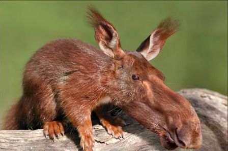 Moose Combined With A Squirrel